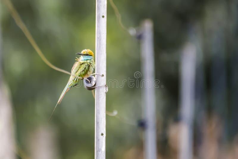 Comedor de abeja verde - en la cerca imagenes de archivo