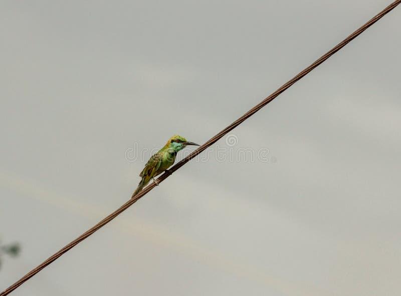 Comedor de abeja verde, pequeño pájaro que se encarama peligroso en un alambre eléctrico que espera para coger su presa foto de archivo