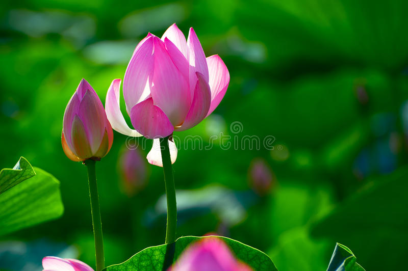 The comely lotus and alabastrum. The photo was taken in Oil field park Daqing city Heilongjiang province, China stock photo