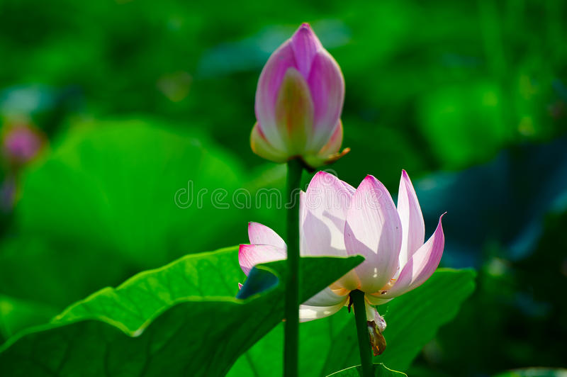 The comely lotus and capullo. The photo was taken in Oil field park Daqing city Heilongjiang province, China stock image
