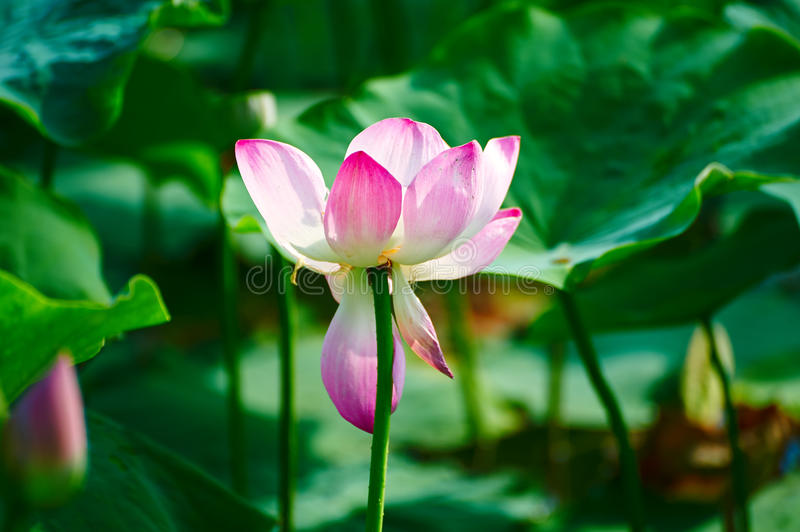The comely lotus flower. The photo was taken in Oil field park Daqing city Heilongjiang province, China stock image