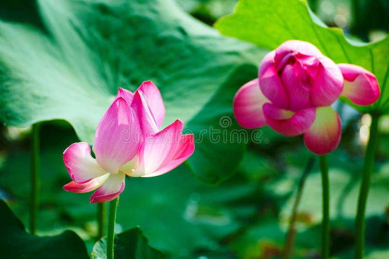 The comely lotus flowers. The photo was taken in Oil field park Daqing city Heilongjiang province, China stock photos