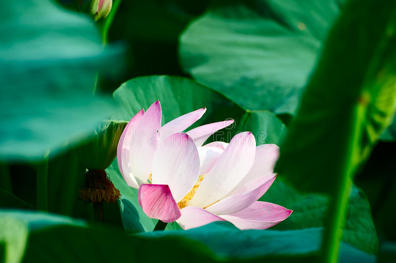 A comely lotus and leaves. The photo was taken in Oil field park Daqing city Heilongjiang province, China stock photos