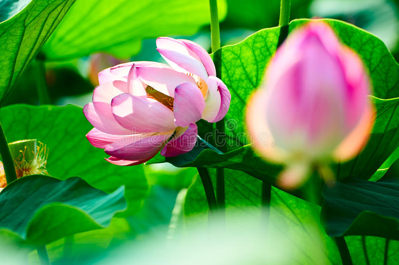 The comely lotus and leaves. The photo was taken in Oil field park Daqing city Heilongjiang province, China stock image