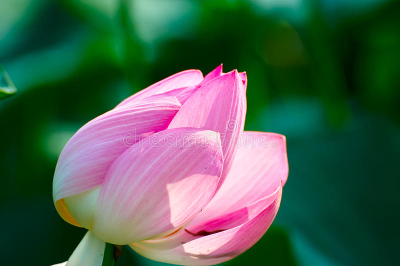 A comely lotus. The photo was taken in Oil field park Daqing city Heilongjiang province, China royalty free stock photos