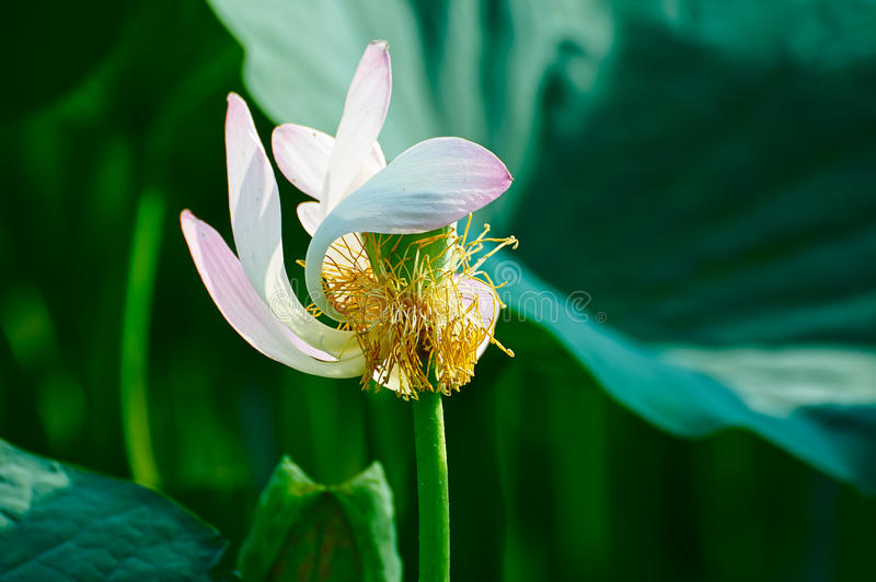 A comely lotus pistil. The photo was taken in Oil field park Daqing city Heilongjiang province, China royalty free stock photos