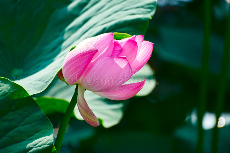 The comely lotus under leaf. The photo was taken in Oil field park Daqing city Heilongjiang province, China royalty free stock images