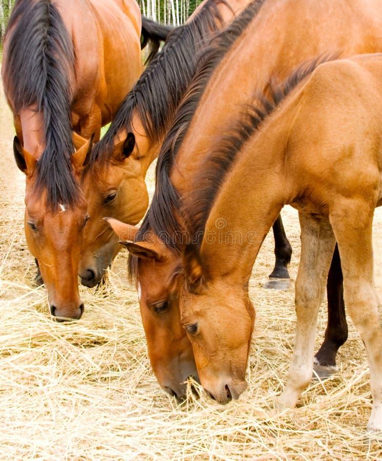 Comendo cavalos imagens de stock royalty free