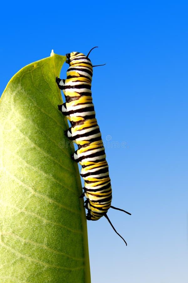 Comendo a lagarta fotografia de stock