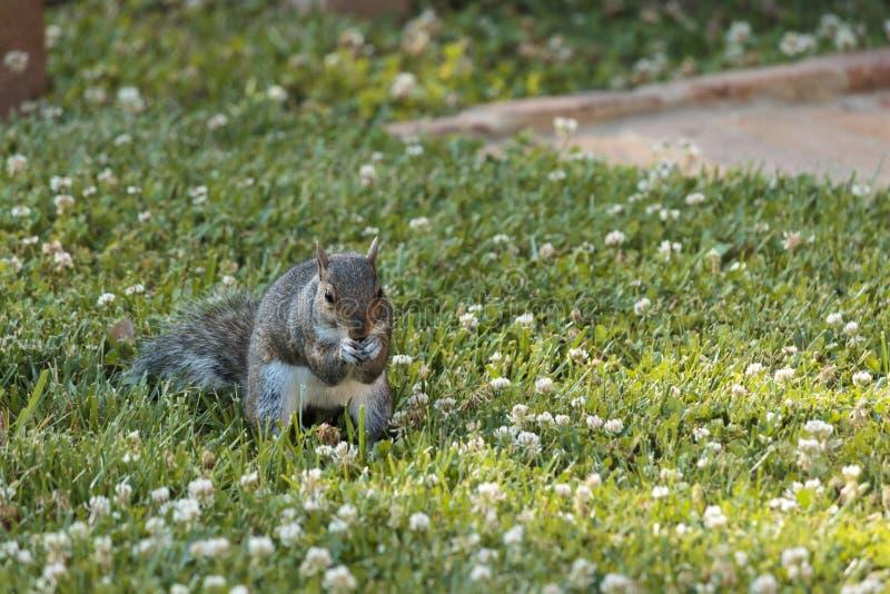 Comendo o esquilo fotografia de stock royalty free