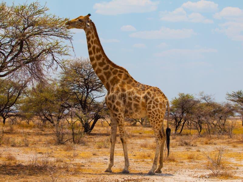 Comendo o girafa fotos de stock