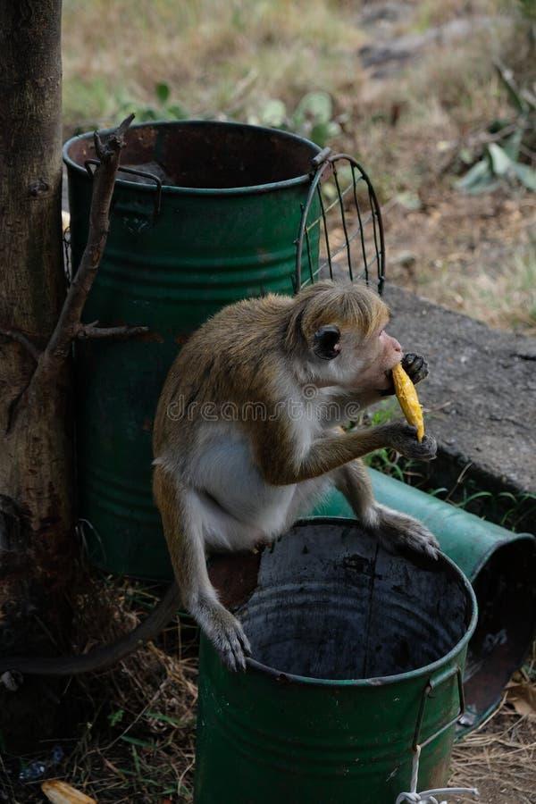 Comendo o macaco na selva, Sri Lanka, Ásia fotografia de stock royalty free