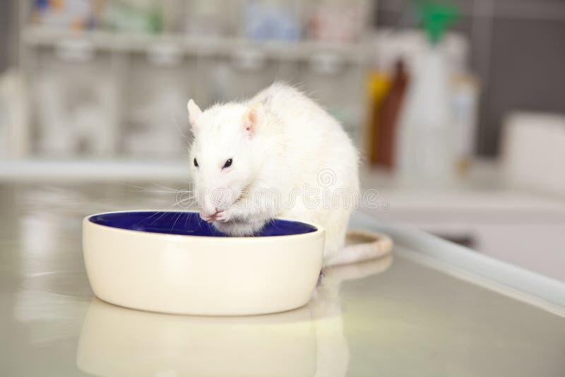 Comendo o rato na tabela de funcionamento no veterinário fotos de stock royalty free