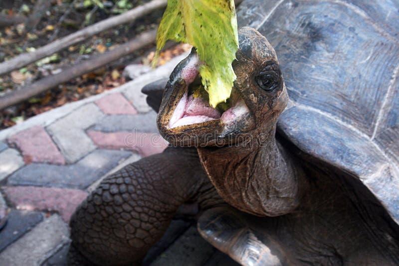 Comendo a tartaruga fotos de stock