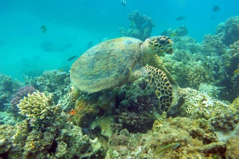 Comendo a tartaruga de mar imagens de stock