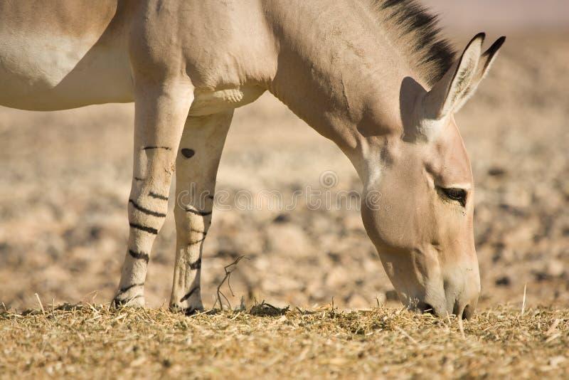 Comer africano do burro selvagem fotos de stock royalty free