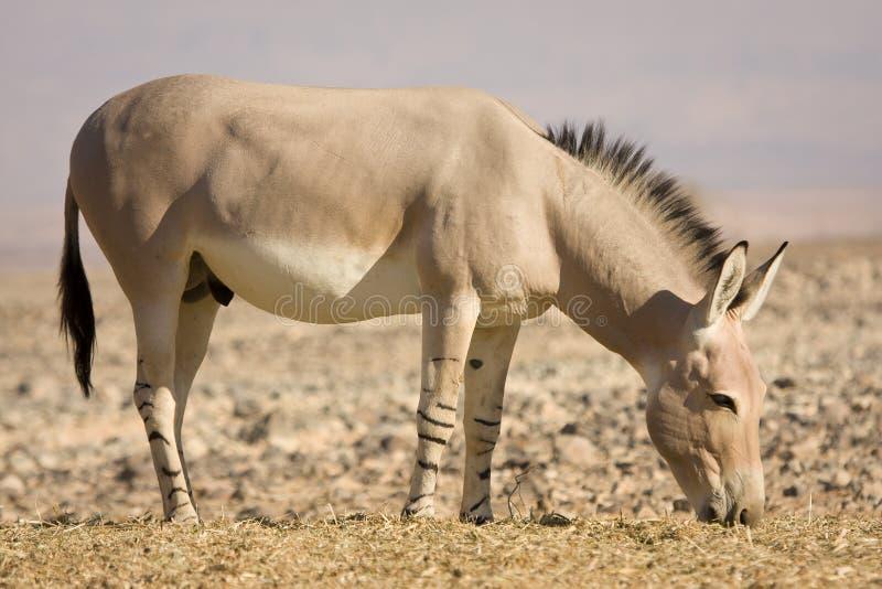 Comer africano do burro selvagem fotografia de stock