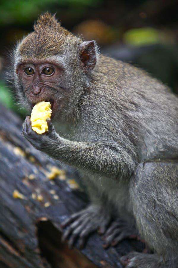 Comer asiático do macaco imagens de stock
