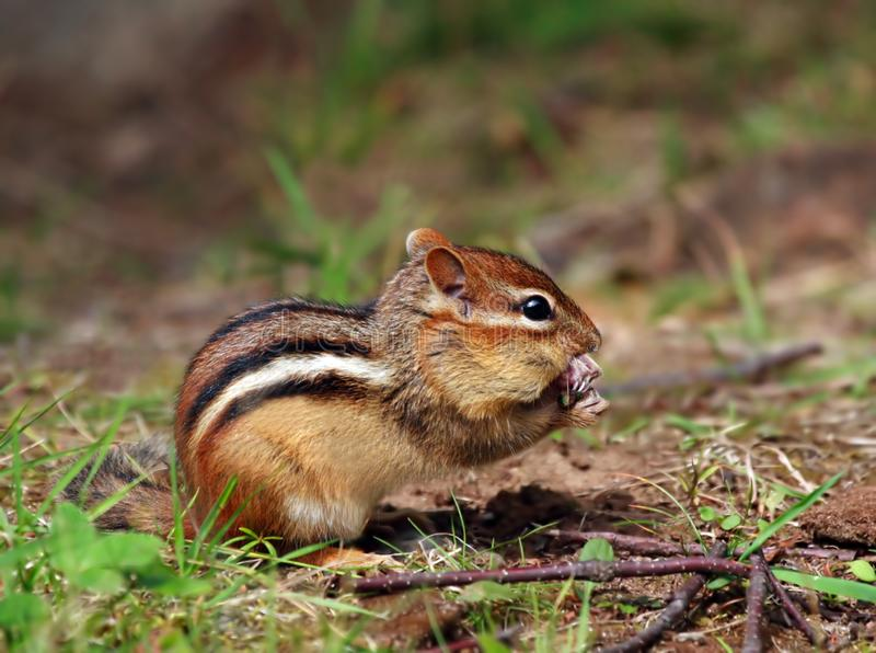 Comer bonito do Chipmunk imagem de stock royalty free