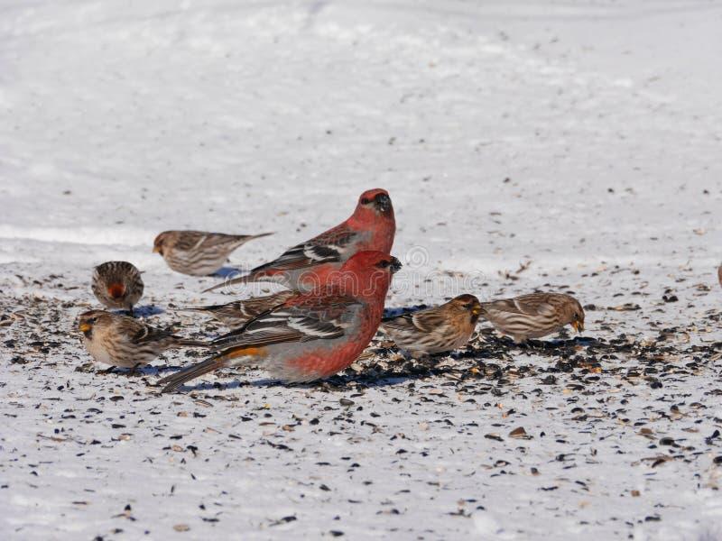 Comer colorido dos pássaros do inverno fotos de stock royalty free