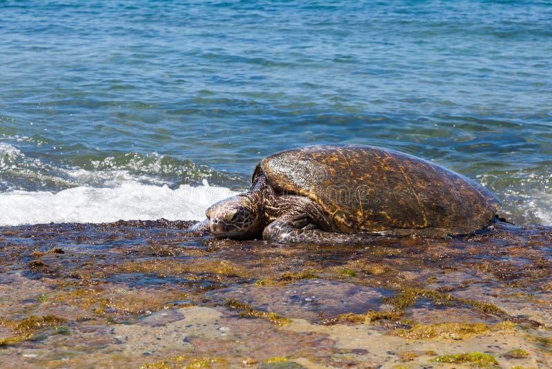 Comer da tartaruga de mar verde fotografia de stock