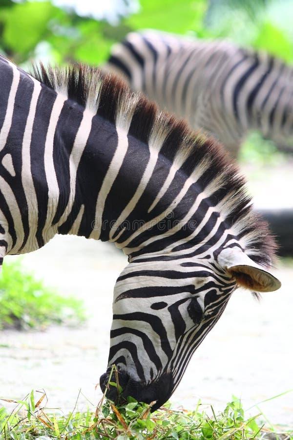Comer da zebra fotos de stock royalty free