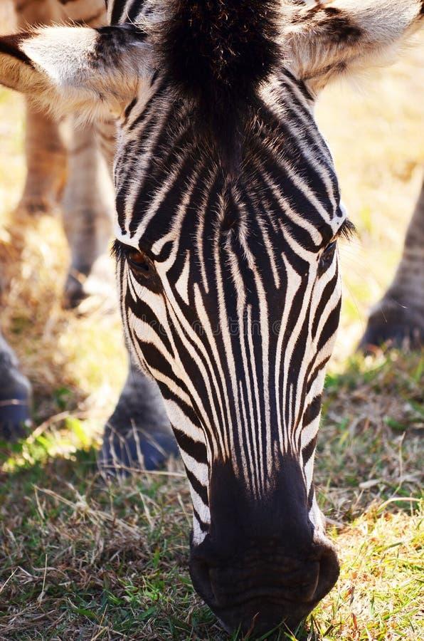Comer da zebra foto de stock