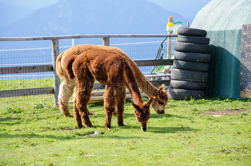 Comer das alpacas de Brown fotografia de stock royalty free