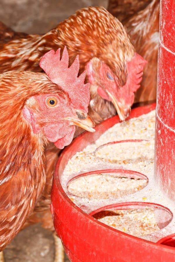 Comer das galinhas fotos de stock