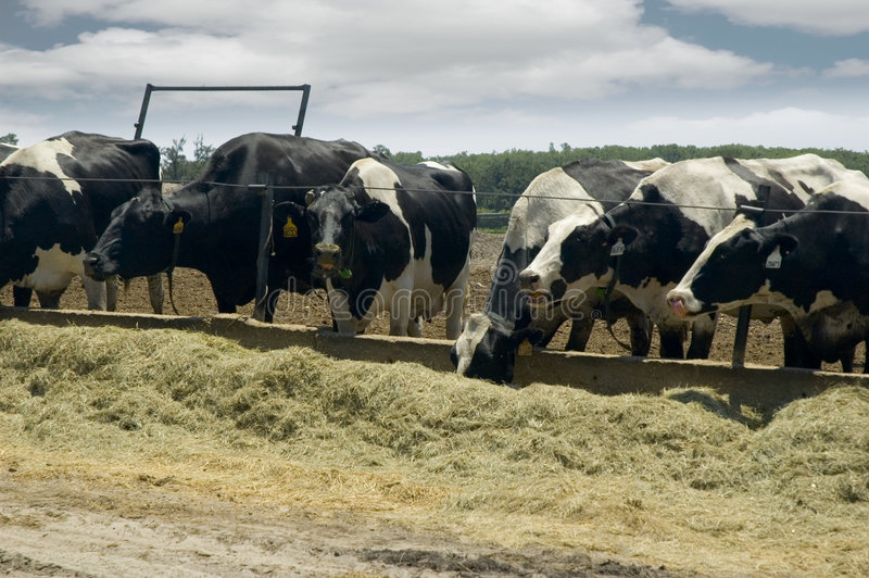 Comer das vacas de leite. fotografia de stock