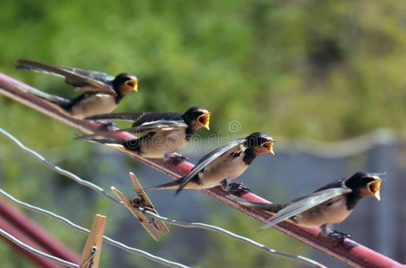 Comer de espera da família de pássaros do bebê da andorinha de celeiro com bicos abertos fotografia de stock royalty free