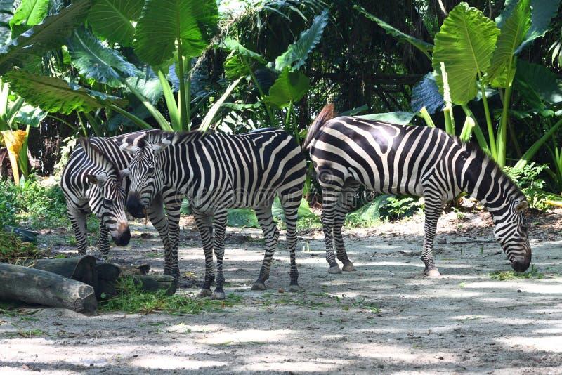 Comer de três zebras fotos de stock royalty free