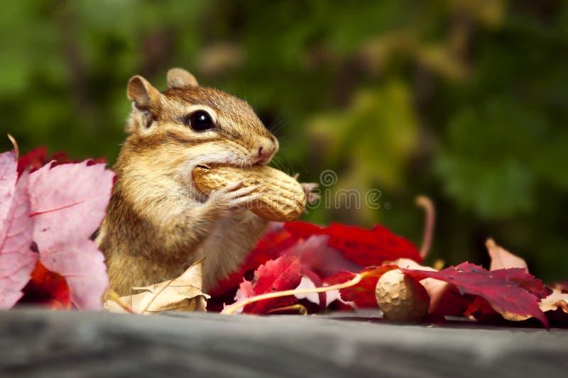 Comer do Chipmunk imagens de stock