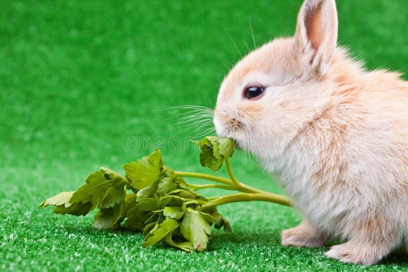 Comer do coelho doméstico foto de stock royalty free