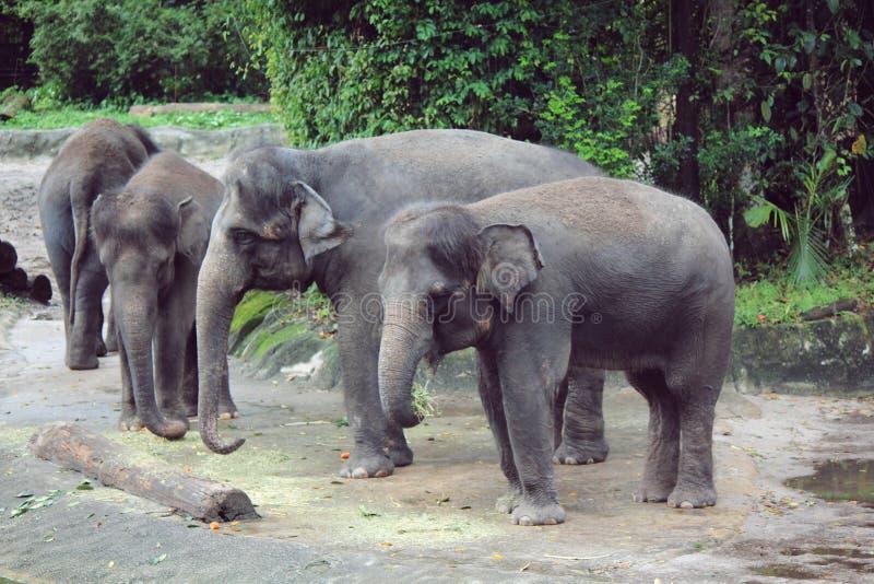 Comer do elefante foto de stock royalty free