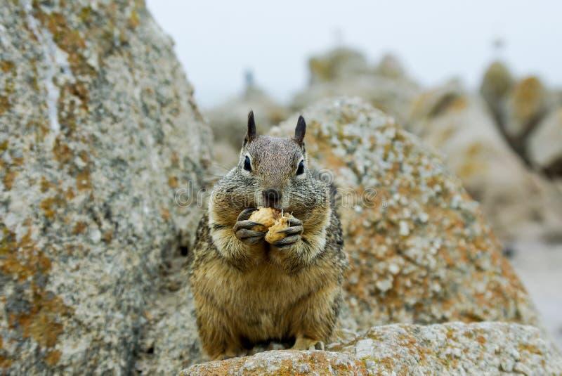 Comer do esquilo fotos de stock royalty free