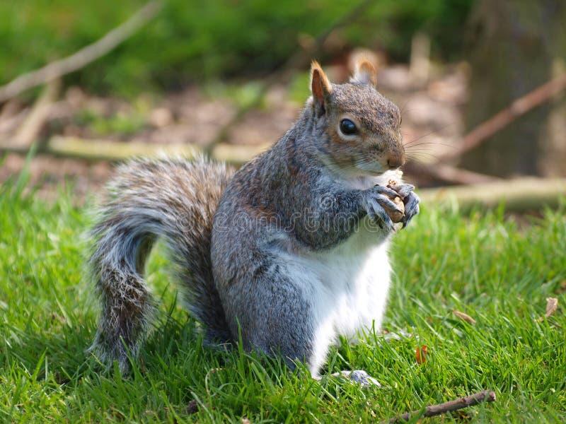 Comer do esquilo fotos de stock