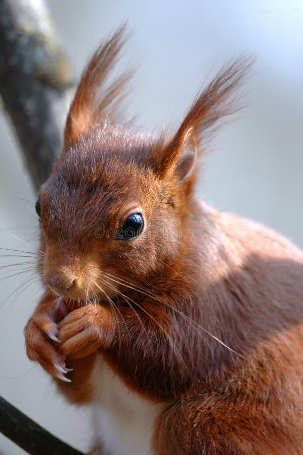Comer do esquilo foto de stock royalty free
