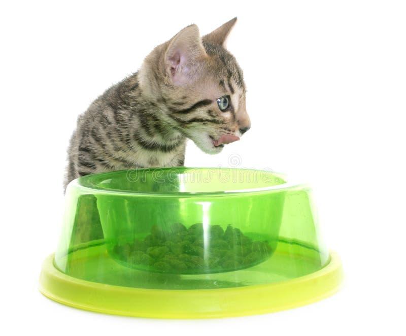 Comer do gatinho de Bengal imagens de stock