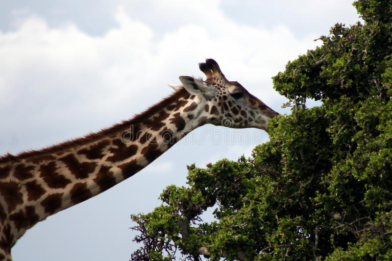 Comer do Giraffe imagens de stock