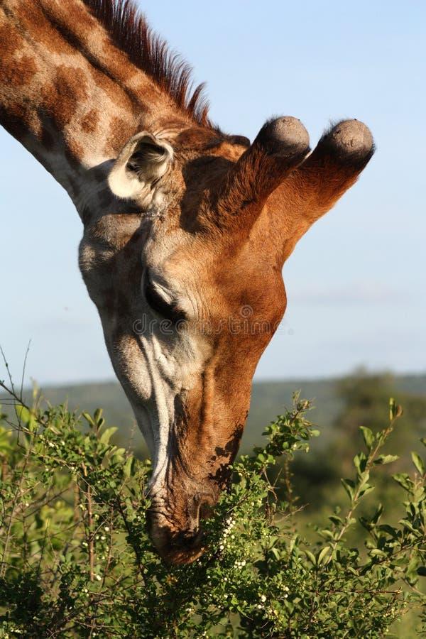 Comer do Giraffe imagens de stock royalty free