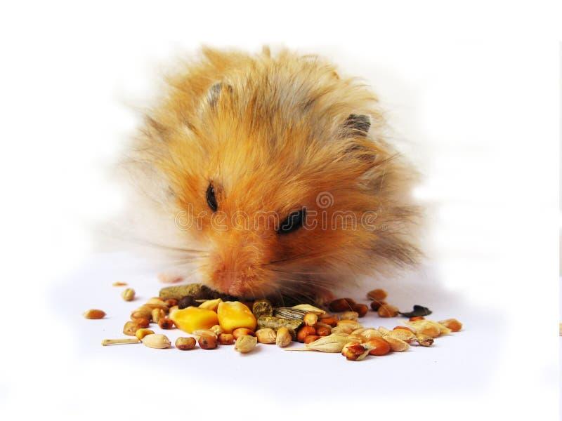Comer do hamster fotos de stock royalty free