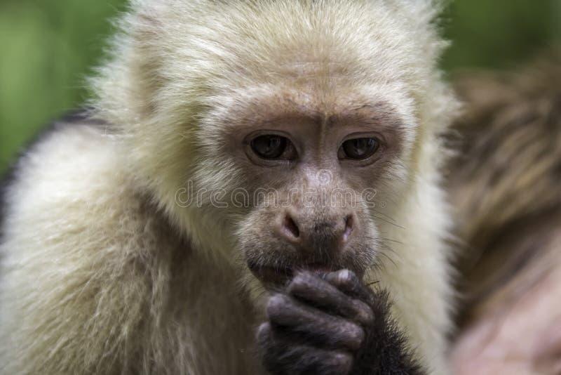 Comer do macaco do Capuchin imagens de stock
