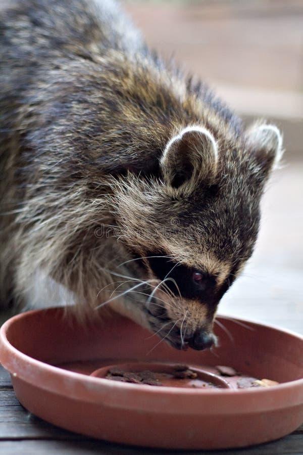 Comer do Raccoon imagens de stock