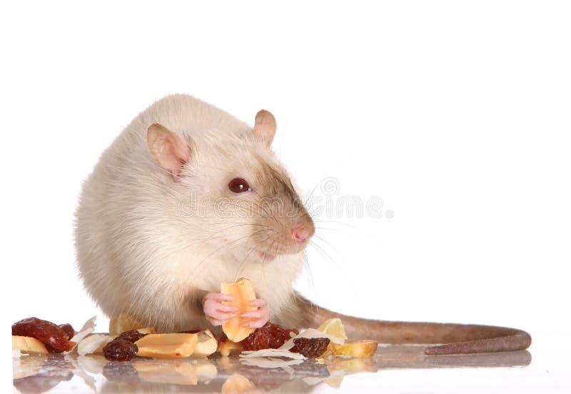 Comer do rato do animal de estimação imagens de stock