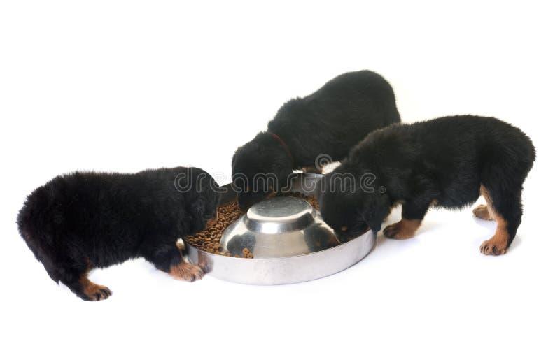 Comer do rottweiler dos cachorrinhos fotografia de stock