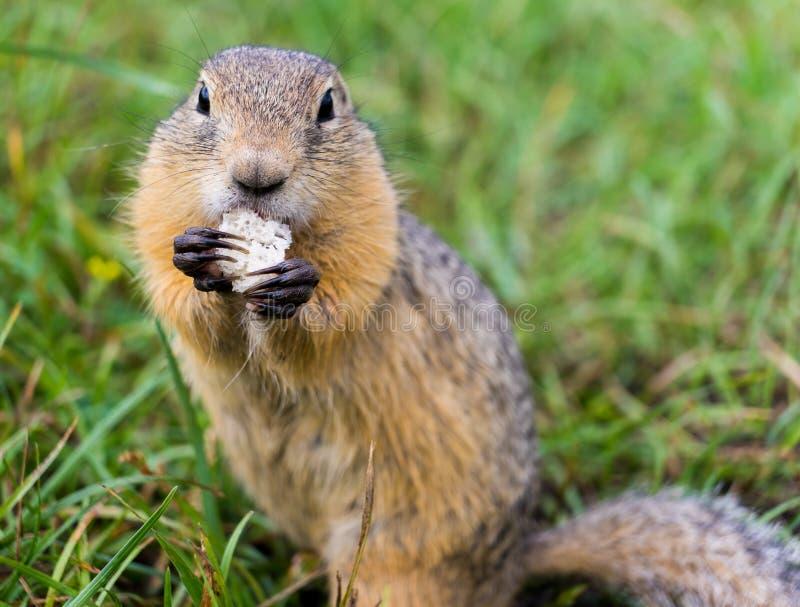 comer do Terra-esquilo foto de stock royalty free