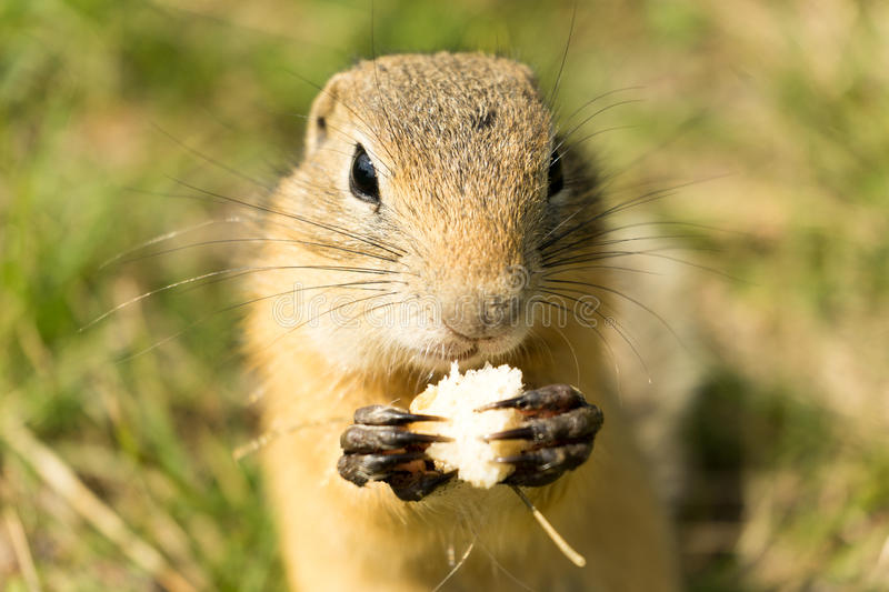 comer do Terra-esquilo fotos de stock