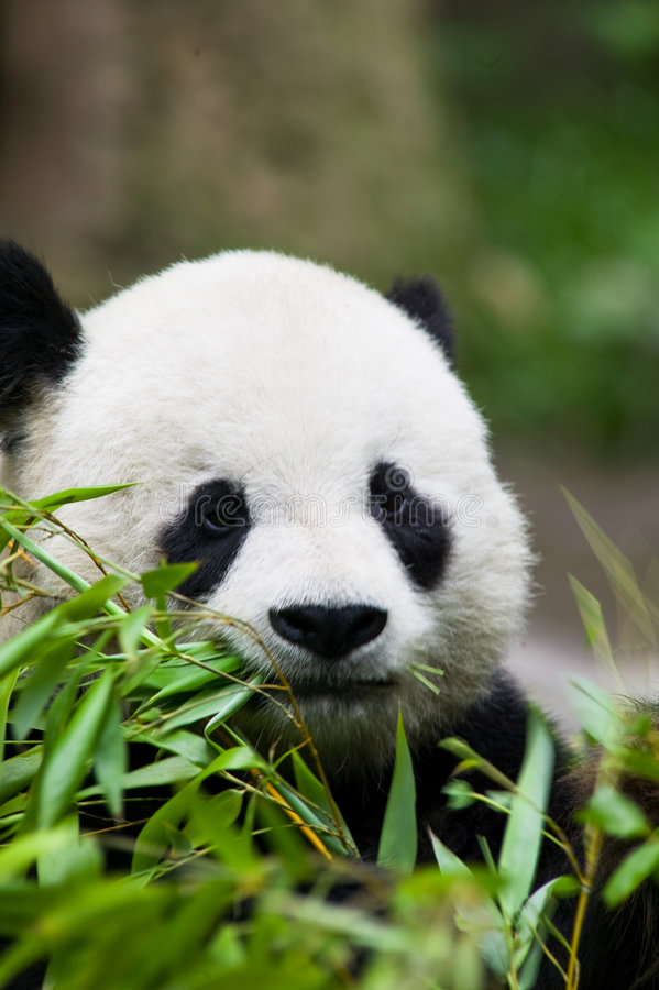 Comer do urso da panda foto de stock royalty free