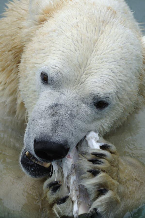 Comer do urso polar foto de stock royalty free